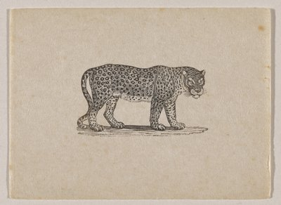 standing leopard with head turned to PR, seen from PR side