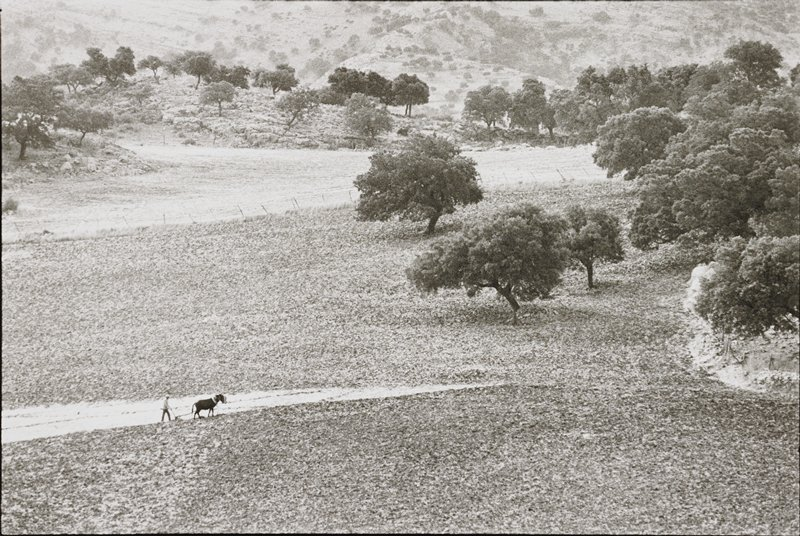 farmer plowing hilly area with two mules; trees center and left side; rocky area right side below trees