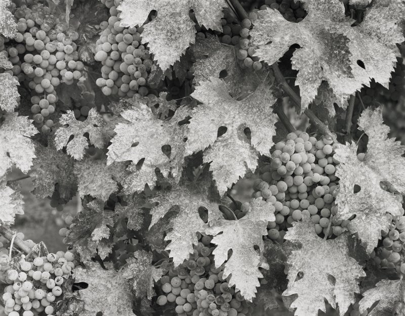 grapes on the vine; close-up view of grape bunches and leaves