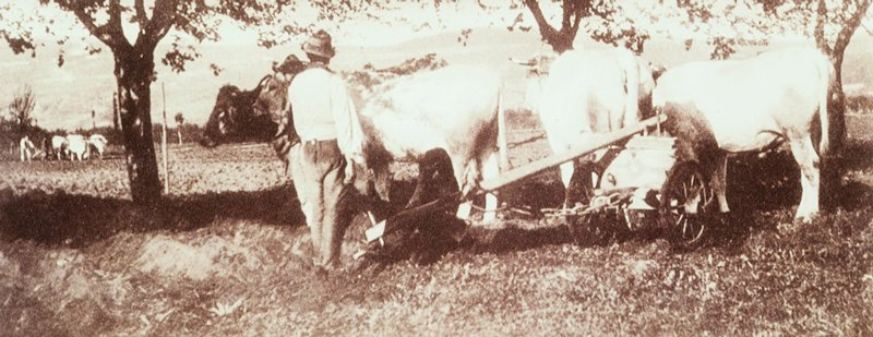 two men stand in a field with steer and a wooden plough