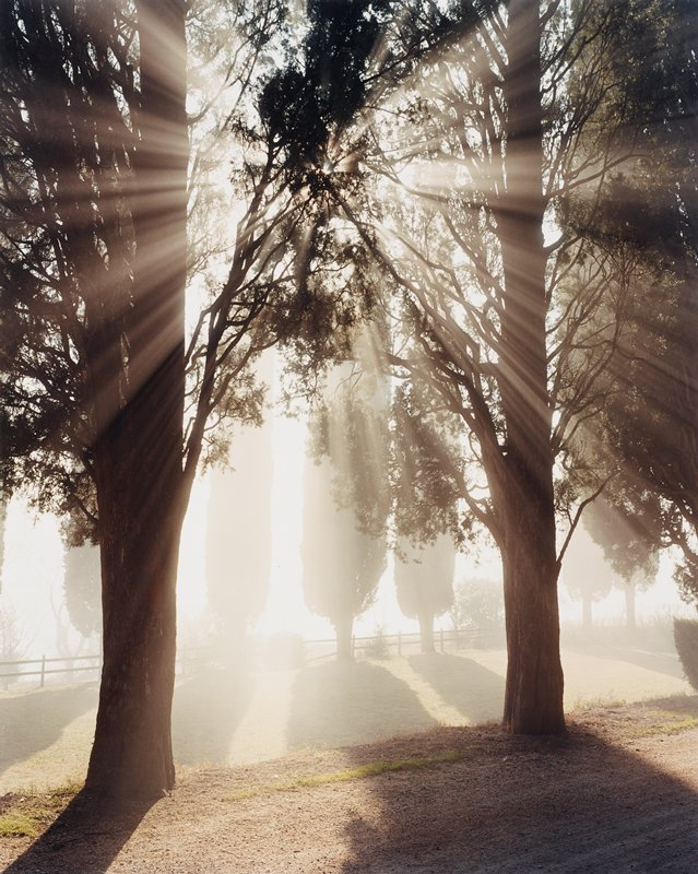 beams of sunlight through cypress trees