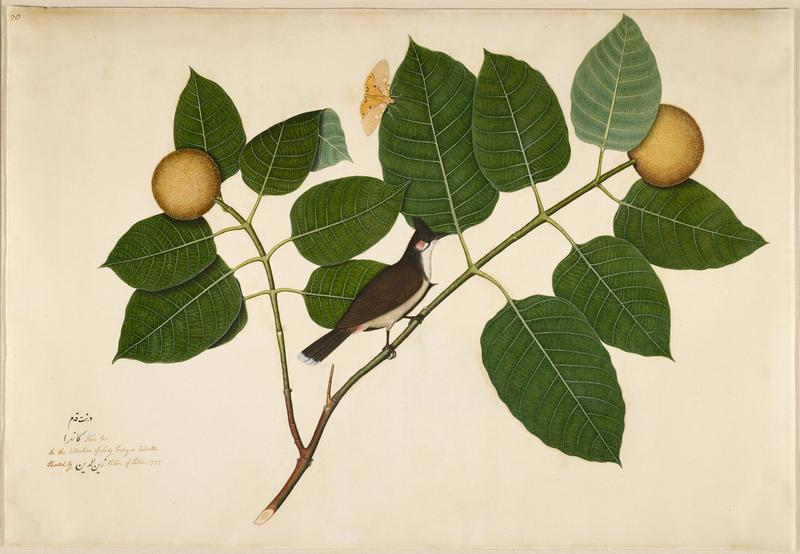image of a black bird with white belly on a branch with two round fruits and a yellow moth; gold frame