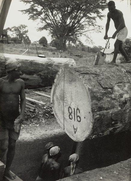 Black and white photograph of a group of men using a double handled saw on a large log while another young man looks on from the L side of the image