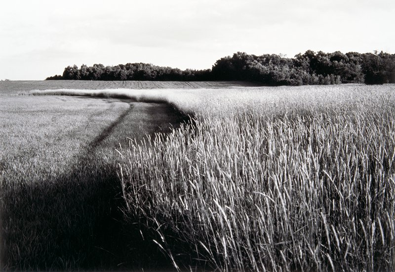 field with tall grain at right extending toward left into a field of shorter grasses in middle ground; cluster of trees at right in background