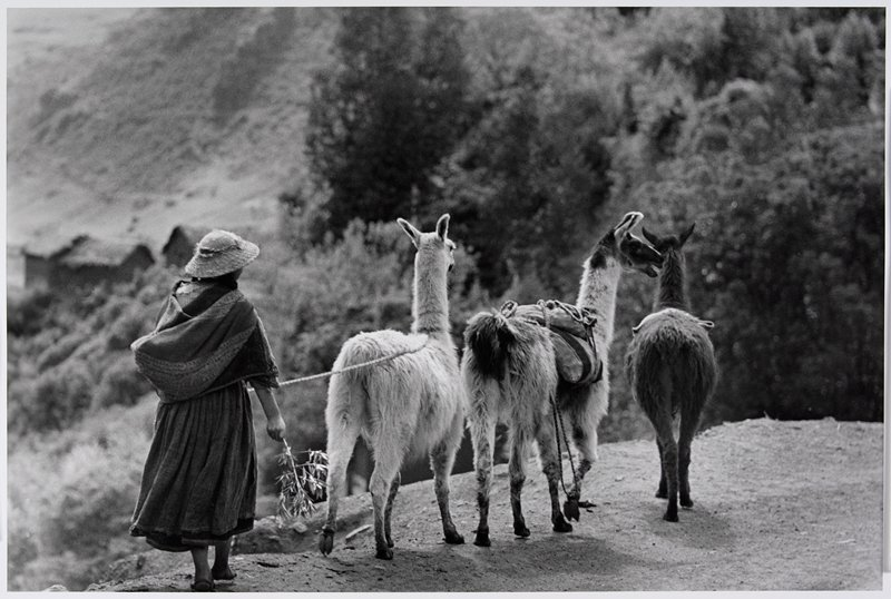 girl wearing a hat and carrying a short leafed branch, following 3 llamas; central llama saddled with a bundle