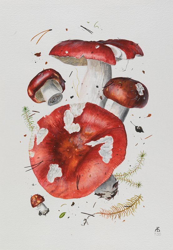 watercolor of 5 specimens of mushroom; red caps, white stems; leaf, pine needle, and twig specimens between and around mushrooms; mounted and matted