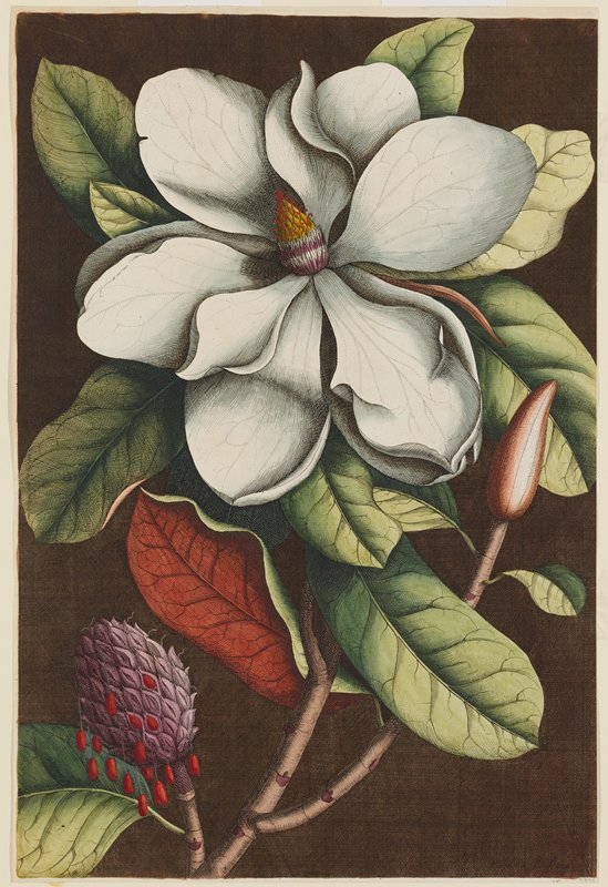 Plate 61 from Mark Catesby's Natural History of Carolina, Florida, and the Bahama Islands, London, 1731-43 (3rd ed., 1771).