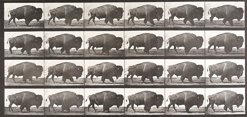 Buffalo, walking. From a portfolio of 83 collotypes, 1887, by Edweard Muybridge; part of 781 plates published under the auspices of the University of Pennsylvania