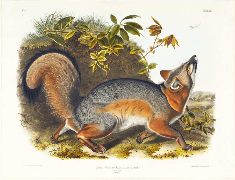Plate XXI. no. 5; grey fox, 5/7 natural size